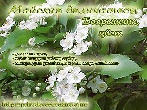 боярышник_цвет